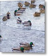 February  And Cold Ducks Metal Print by Rosemarie E Seppala