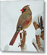 Female Cardinal In The Snow Metal Print by Sandy Keeton