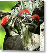 Female Pileated Woodpecker At Nest Metal Print by Mircea Costina Photography