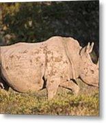 Female White Rhinoceros Metal Print by Science Photo Library