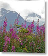 Fireweed Metal Print by Jim Cook