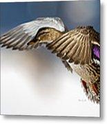 Flight Of The Mallard Metal Print by Bob Orsillo