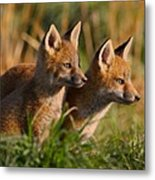 Fox Cubs At Sunrise Metal Print by William Jobes