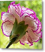 Frilly Carnation Metal Print by Gill Billington