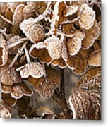 Frosted Hydrangea Metal Print by Anne Gilbert