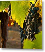 Fruit Of The Vine Metal Print by Bill Gallagher