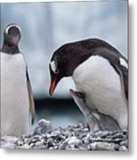 Gentoo Penguin With Chick Begging Metal Print by Konrad Wothe