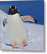 Gentoo Waddle Metal Print by Tony Beck