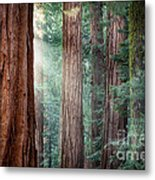 Giant Sequoias In Early Morning Light Metal Print by Jane Rix