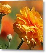 Giant Tecolote Ranunculus - Carlsbad Flower Fields Ca Metal Print by Christine Till