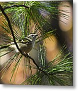 Golden-crowned Kinglet Metal Print by Christina Rollo
