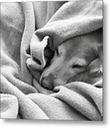 Golden Retriever Dog Under The Blanket Metal Print by Jennie Marie Schell