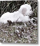 Golden Retriever Puppy 2 Metal Print by Andrea Anderegg