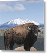 Grand Tetons Bison Metal Print by Charles Warren