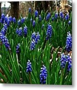 Grape Hyacinths Metal Print by Julie Dant