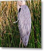 Great Blue Heron Metal Print by Edward Fielding