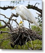 Great Egret Chicks - Sibling Rivalry Metal Print by Carol Groenen