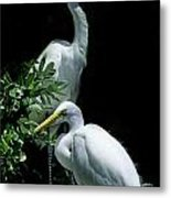 Great Egret Pair Metal Print by Skip Willits