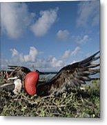 Great Frigatebird Female Eyes Courting Metal Print by Tui De Roy