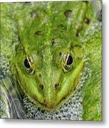 Green Frog Metal Print by Matthias Hauser