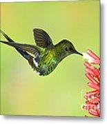 Green Thorntail Hummingbird Metal Print by Anthony Mercieca