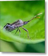 Grey Plant Bug 1 Metal Print by Douglas Barnett
