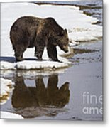 Grizzly Bear Reflected In Water Metal Print by Mike Cavaroc