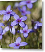 Happy Tiny Bluet Wildflowers Metal Print by Kathy Clark