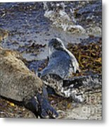 Harbor Seal Nursing Metal Print by George Oze