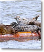 Harbour Seals Lounging Metal Print by Sharon Talson