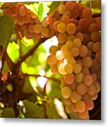 Harvest Time. Sunny Grapes IIi Metal Print by Jenny Rainbow