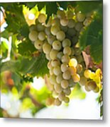 Harvest Time. Sunny Grapes Iv Metal Print by Jenny Rainbow
