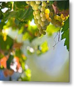 Harvest Time. Sunny Grapes V Metal Print by Jenny Rainbow
