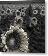 Haunting Sunflower Fields 1 Metal Print by Dave Dilli