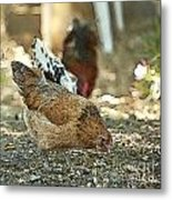 Hens Scratching Around Metal Print by Artist and Photographer Laura Wrede