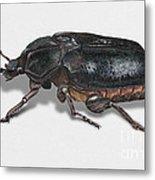 Hermit Beetle - Russian Leather Beetle - Osmoderma Eremita - Pique Prune - Erakkokuoriainen Metal Print by Urft Valley Art