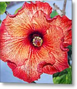 Hibiscus - Mahogany Star Flower Metal Print by Donna Proctor