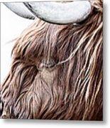 Highland Cow Color Metal Print by John Farnan