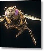 Honey Bee, Sem Metal Print by Science Photo Library