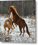 Horses At Play - 10dec5690b Metal Print by Paul Lyndon Phillips