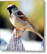House Sparrow Metal Print by David G Paul
