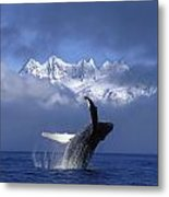 Humpback Whale Breaches In Clearing Fog Metal Print by John Hyde