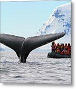 Humpback Whale Fluke  Metal Print by Tony Beck
