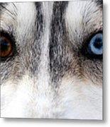 Husky Eyes Metal Print by Keith Allen