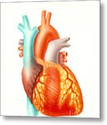 Illustration Of The Human Heart Metal Print by Carlyn Iverson