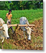 Indian Farmer Plowing With Bulls Metal Print by Image World