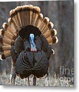 Jake Eastern Wild Turkey Metal Print by Linda Freshwaters Arndt