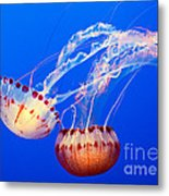 Jelly Dance - Large Jellyfish Atlantic Sea Nettle Chrysaora Quinquecirrha. Metal Print by Jamie Pham