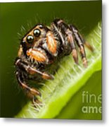 Jumping Spider Phidippus Clarus I Metal Print by Clarence Holmes