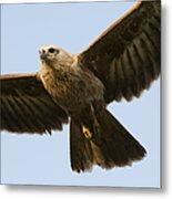 Juvenile Brahminy Kite Metal Print by Tim Gainey